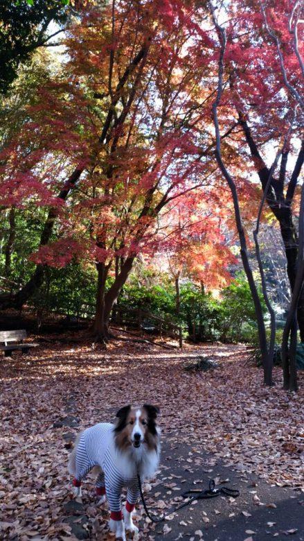 朝の散歩。落ち葉がきれいでしょ。さて、僕、今日はシマウマです(^-^)。