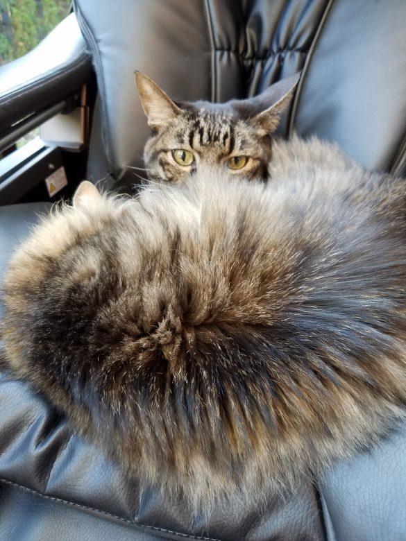 「天然の猫毛マフラー、あったかいよ。」とチャンジャ
